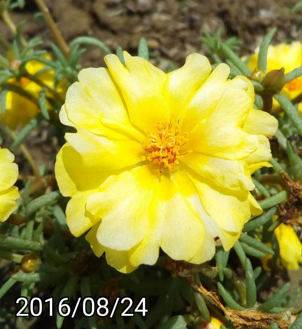 黃白色複瓣松葉牡丹 yellow white multi-petalled Portulaca pilosa, kiss-me-quick, hairy pigweed